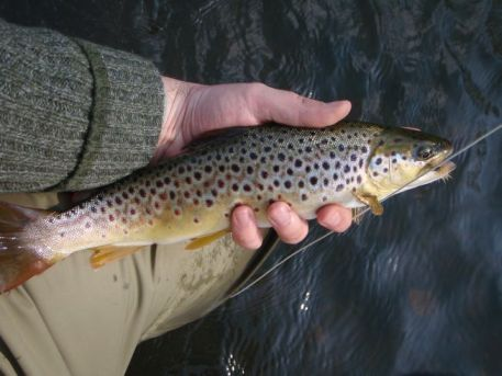Nice Trout from Kelvin
