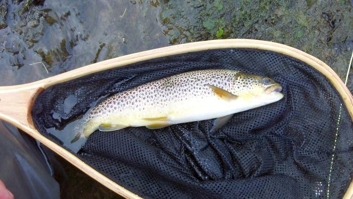 Trout in net...