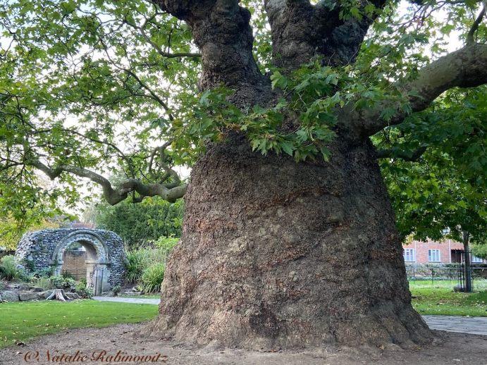 Baobab and Roman Wall Canterbury