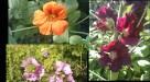 June - peak edible flower season
