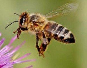 Cure For HIV? Bee Venom Destroys Human Immunodeficiency Virus (HIV)