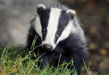 If Badgers Are Smart Enough To Get Out of a Box, You Can Get Out of Your Financial Bondage.