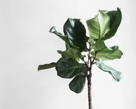 Ficus lirata planta folhas