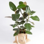 Ficus elastica robusta urban jungle-2