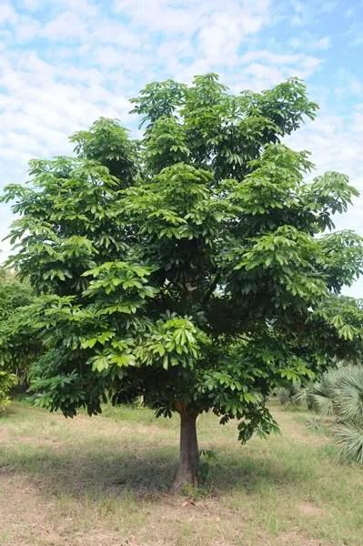 Pachira aquatica árvore do dinheiro