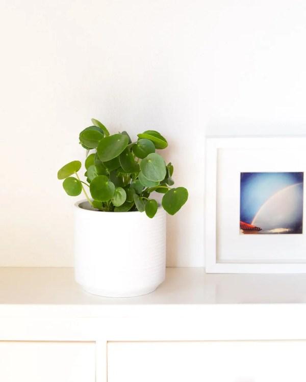 Pilea peperomioides com vaso urban jungle