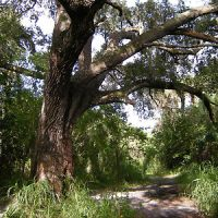The Devil Tree in Oak Hammock Park, Port Saint Lucie, FL