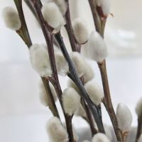How the Pussy Willow got it's name
