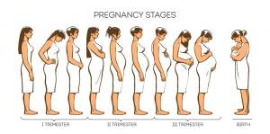 Stages of pregnancy: Pregnancy Trimesters  Urban Mamaz Blog