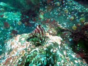 Painted Greenling on riprap