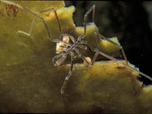 Nymphon sp. (a sea spider, or pycnogonid). (c) Steve Trewhella