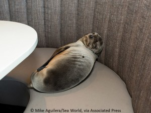 sea lion pup in restaurant booth