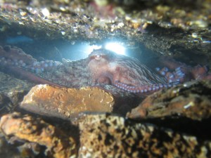 Giant Pacific octopus in den