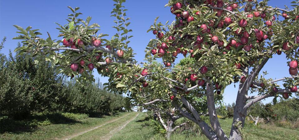 Apple Picking NYC - Apple Ridge Orchard