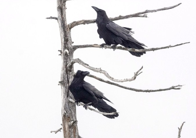 Pair of ravens at Bowen Lookout, Cypress Bowl