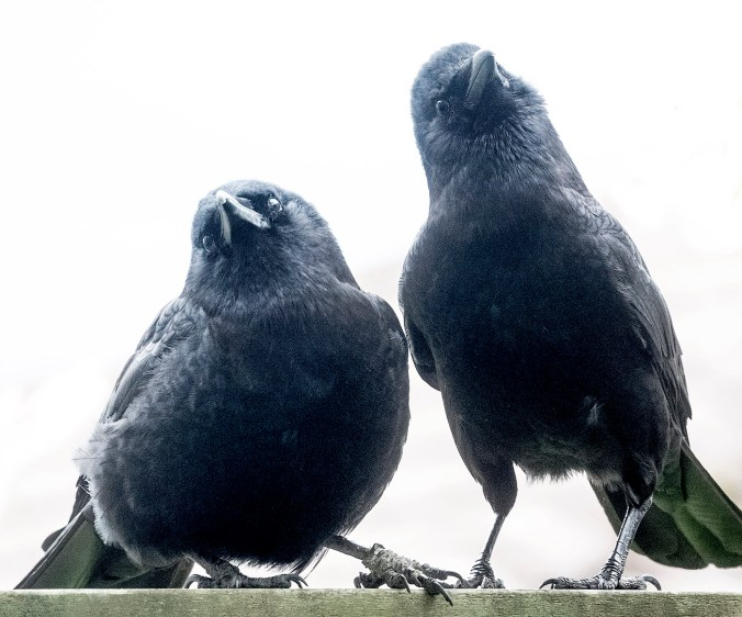 Vera and Hank, Crow Couple © June Hunter 2016 www.junehunter.com