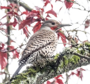 Northern Flicker in plum tree, photograph by June Hunter, 2017
