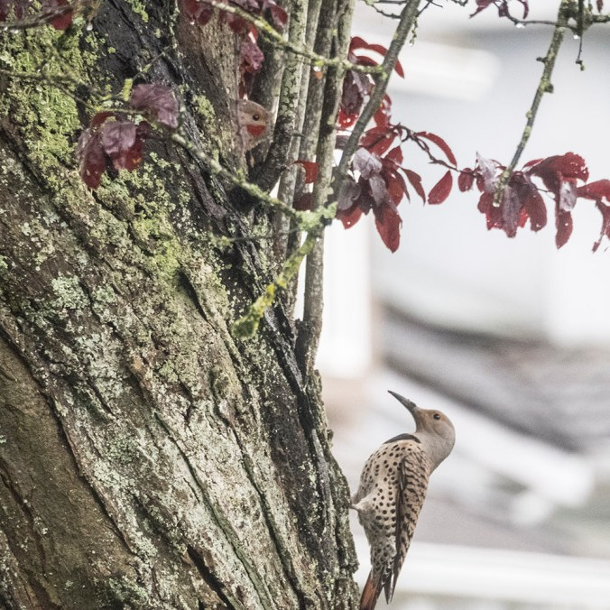 Northern Flicker profile pair at nest, photograph by June Hunter, 2017