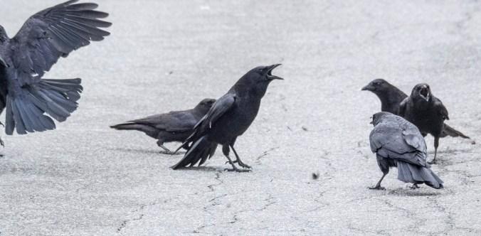 Crow Fight 8