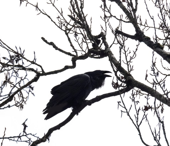 Raven Call in Poplars