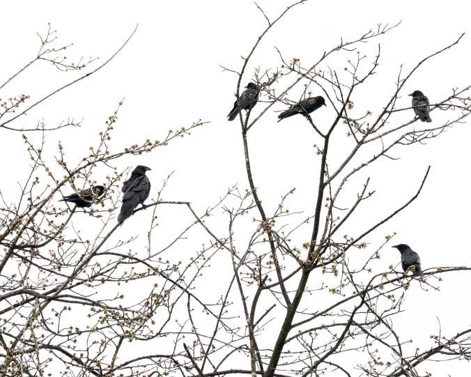 Raven Crow Detente