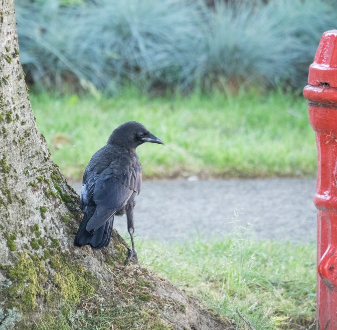 Baby Crow with Fire Hydrant