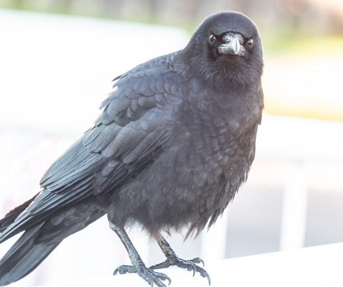 Slocan Street Crow Dec 2018