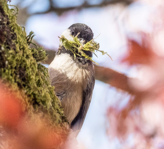 Moss Collecting Chickadee