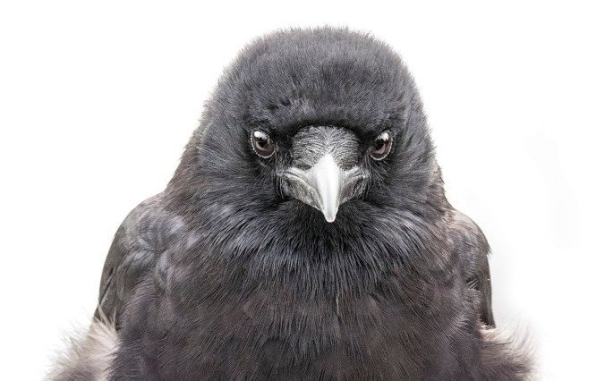 Mavis the Crow Portrait