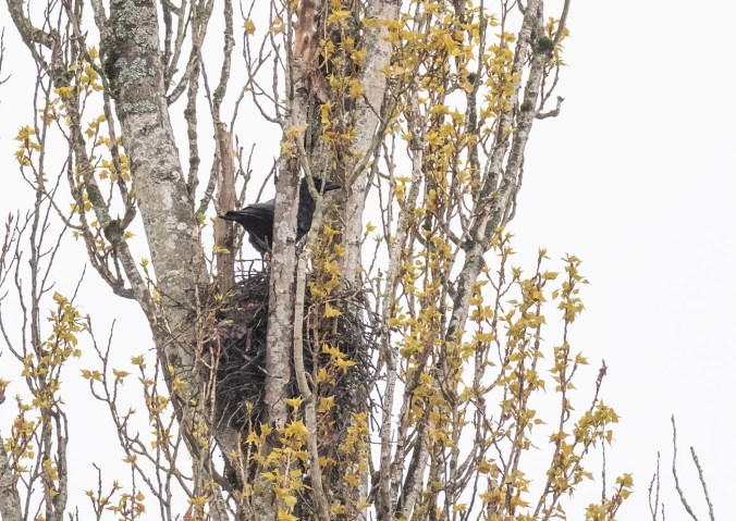 Mavis on Nest April 17