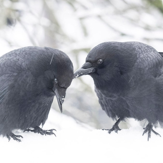 George and Mabel Crows in the Snow