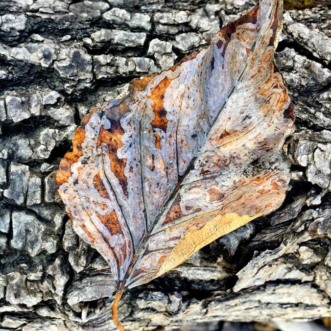 quesnel river leaf