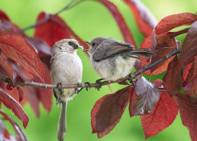 Bushtit fledgling and parent