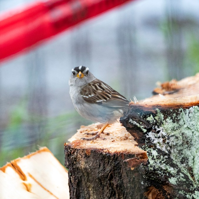 White Crowned Sparrow on a Poplar Stump