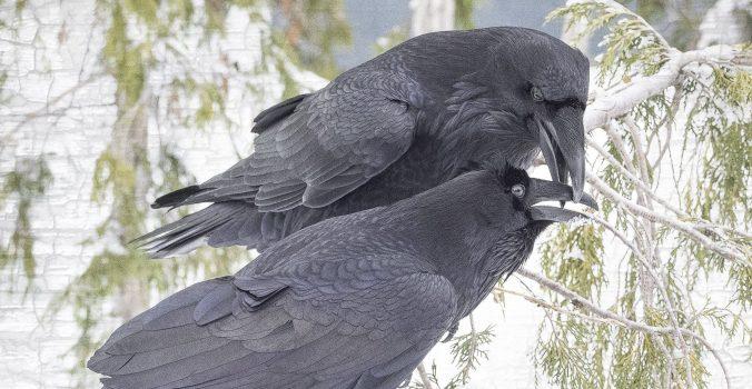 2 Ravens in Pursuit