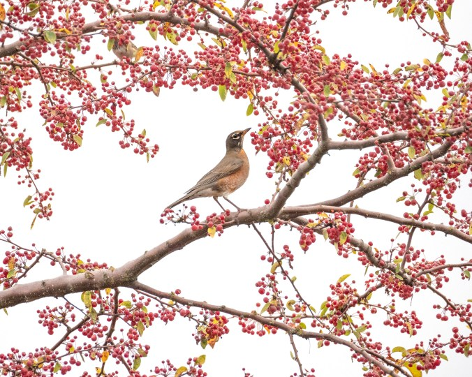 American robin and crabapples photograph by June Hunter