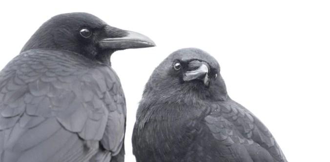 Crow couple photo