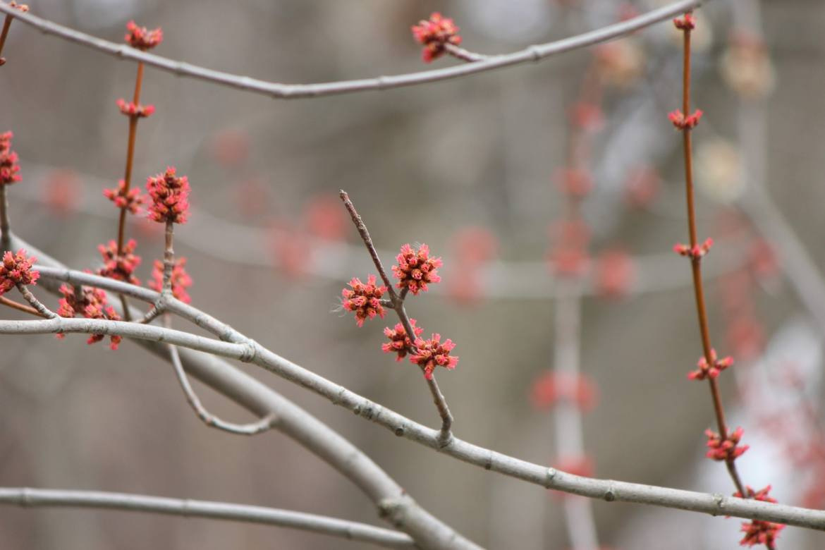 Maple tree buds on the Humber River in Toronto