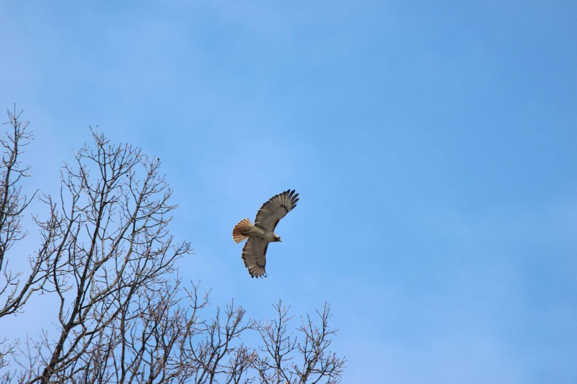 A red-tailed hawk takes flight on the Humber River in Toronto