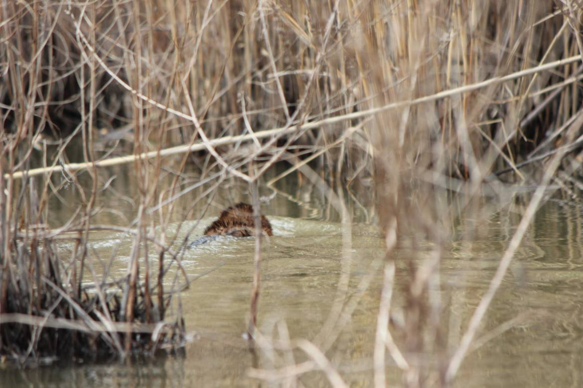 A small beaver swims away on the Humber River in Toronto