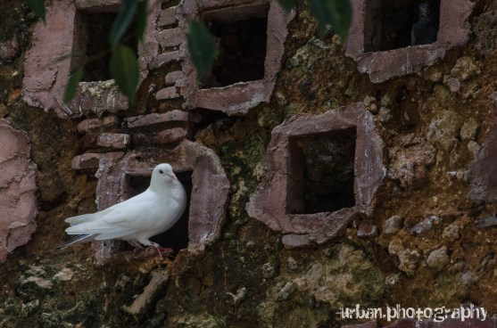 a white pigeon