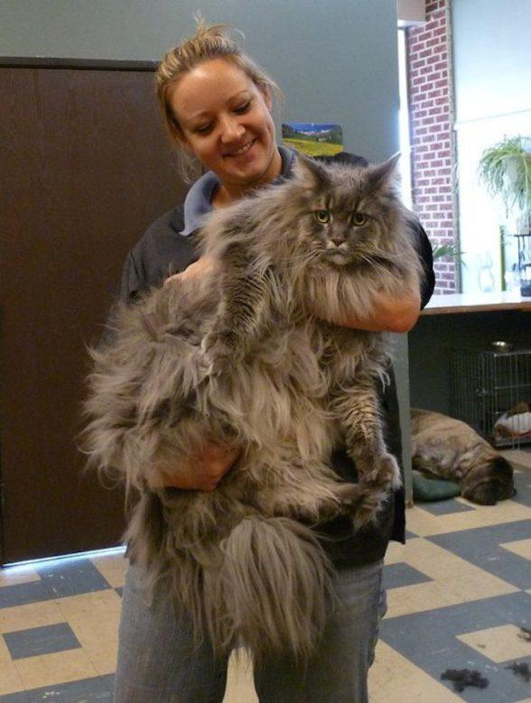 big cat before grooming