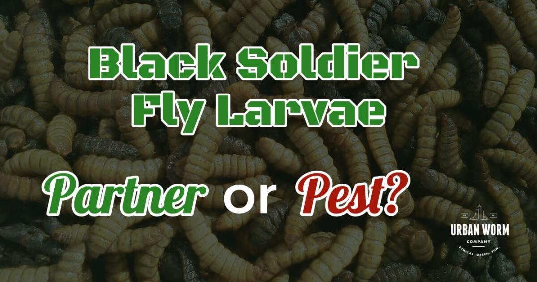 Black Soldier Fly Larvae: Pest or Partner?