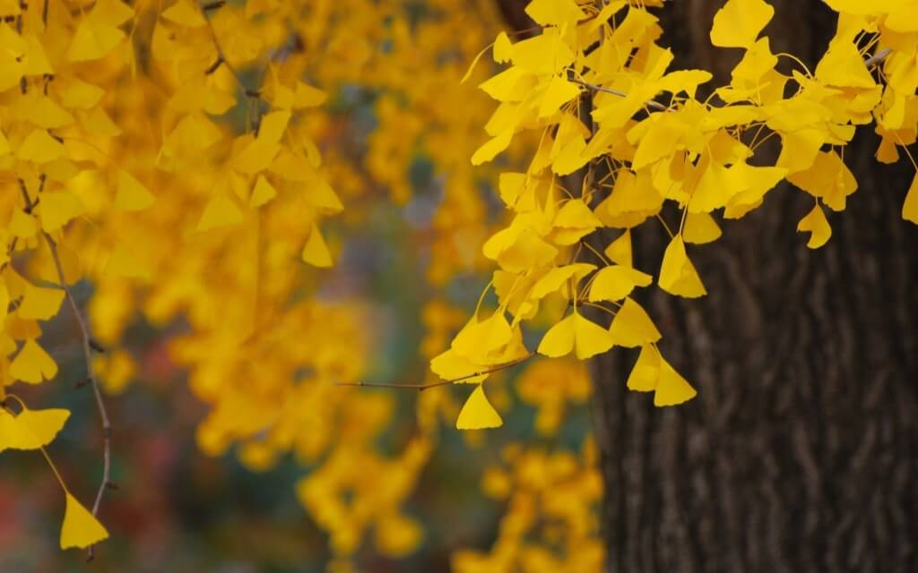 Image result for ginkgo tree