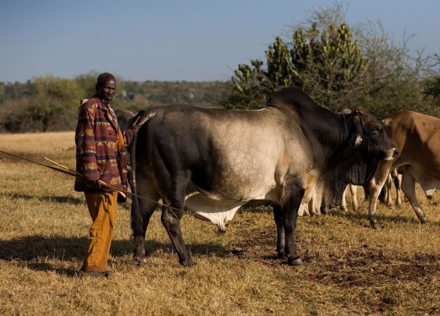 Cattles in Uganda To Be registered