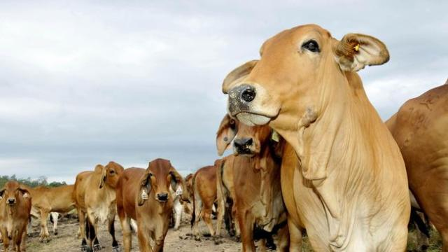 Over 1000 Cattle Perish From Allegedly Poisoned Animal Feed