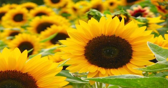 سورج مکھی کی کاشت کا موزوں ترین وقت 25جنوری سے فروری کے آخر تک ہے، ترجمان محکمہ زراعت