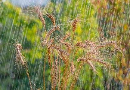 پنجاب میں بارشوں سے گندم کی فصل شدید متاثر