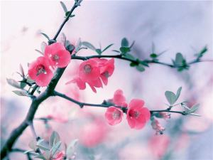 Flower - Pink Blossom - Updated