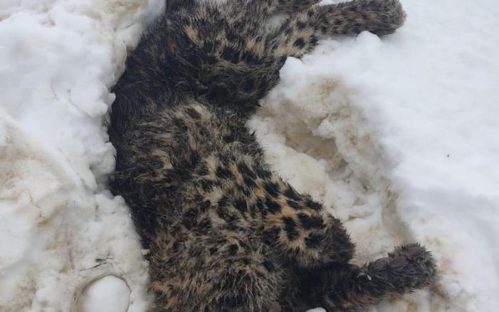 ضلع شوپیان میں نو بھیڑوں کی چیر پھاڑ کرنے والا چیتا لوگوں کے ہاتھوں ہلاک